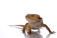 Bearded Dragon. In front of a white background Royalty Free Stock Photography