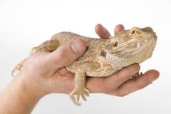 Bearded Dragon. Very nice Bearded Dragon on a hand Stock Photo