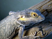 Bearded dragon. My friends bearded dragon lizard. cool pet Royalty Free Stock Images