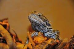 Bearded dragon. Close up shot of a bearded dragon (pogona) in the Darmstadt zoo Vivarium. Germany Royalty Free Stock Photos