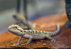 Free Bearded Dragon Stock Images - 50916414