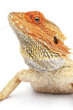 Bearded Dragon. Orange headed bearded dragon stock photos