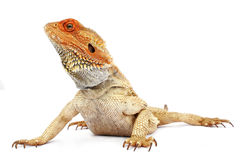 Bearded Dragon. On white background stock images