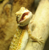 Bearded Dragon. Juvenile Bearded Dragon Opening its Mouth for Lunch Stock Image