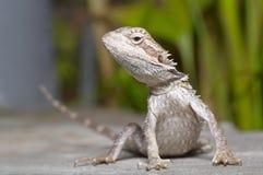 Bearded Dragon. (Pogona vitticeps), Australia Stock Photo