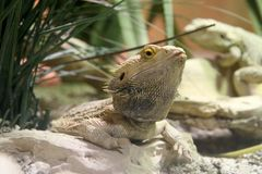 Bearded Dragon. From up close stock photography