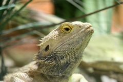 Bearded Dragon. From up close royalty free stock photos