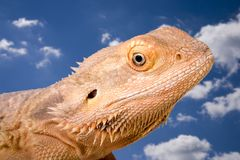 Bearded Dragon against the Sky. Head and shoulders portrait of a bearded dragon against a beautiful blue sky with fluffy clouds stock photo