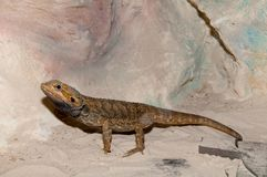 Bearded Dragon or Agama Royalty Free Stock Photography