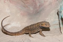 Bearded Dragon or Agama Stock Image