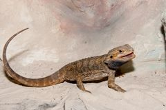 Bearded Dragon or Agama Royalty Free Stock Image