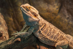 Bearded dragon (agama lizard) Royalty Free Stock Photography