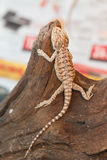Bearded Dragon animal. Baby Bearded Dragon on the log stock photos