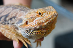 Bearded Dragon animal. Royalty Free Stock Images