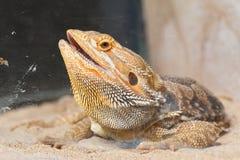 Bearded Dragon animal. Stock Image