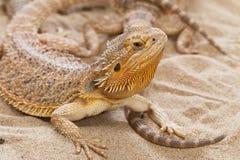 Bearded Dragon animal. Stock Photography