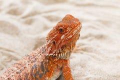 Bearded Dragon animal. Stock Photos