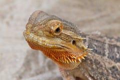 Bearded Dragon animal. Royalty Free Stock Photos
