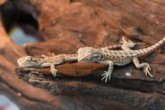 Bearded Dragon animal. Stock Images