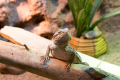 Bearded dragon attentive Stock Image