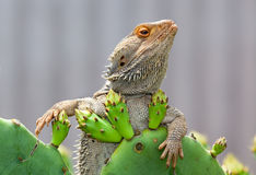 Bearded dragon. Australian lizard just chilling very aloof royalty free stock photos