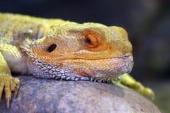 Bearded dragon Stock Photography