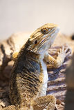 Bearded dragon back. Bearded dragon inside a vivarium photographed in portrait Royalty Free Stock Photography