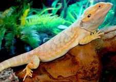 Bearded dragon. A bearded dragon basks on a log stock images