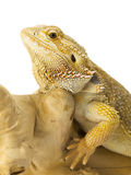 Bearded dragon bearded dragon Stock Images