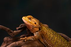 Bearded dragon. Pogona on wooden branch - closeup with selective focus stock image