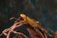Bearded dragon. Pogona on wooden branch - closeup with selective focus stock photos