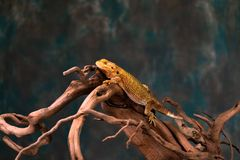 Bearded dragon. Pogona on wooden branch - closeup with selective focus royalty free stock photo