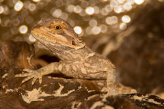 Bearded Dragon. A beautiful young bearded dragon in a terrarium Royalty Free Stock Photo