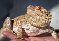 Bearded Dragon being held by human hands Stock Photo