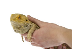 Bearded dragon being held isolated Stock Image