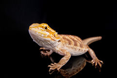 Bearded dragon on black Royalty Free Stock Photo