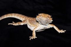 Bearded dragon on black Royalty Free Stock Photo
