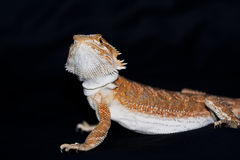 Bearded dragon on black Royalty Free Stock Images