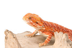 Bearded Dragon on branch Stock Image
