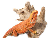 Bearded Dragon on branch Royalty Free Stock Images