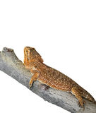 Bearded Dragon on Branch on White Background, Clipping Path Stock Image