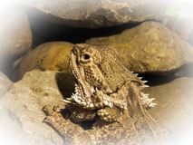 Bearded Dragon camouflage close up royalty free stock photos