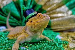 Bearded Dragon Celebrating St. Patrick`s day. Bearded Dragon in a hat celebrating Celebrating St. Patrick`s day on beads and gold coins Stock Image