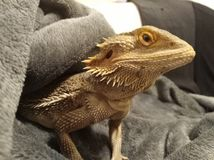 Bearded dragon. A bearded dragon chilling out stock photos