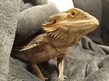 Bearded dragon. A bearded dragon chilling out stock images