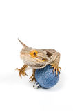 Bearded Dragon with christmas balls Stock Photos
