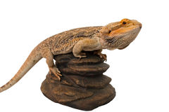 Bearded dragon climbed to a rock Royalty Free Stock Photo