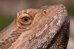 Bearded Dragon close-up Royalty Free Stock Photography