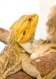 Bearded Dragon. Royalty Free Stock Image