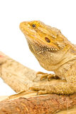 Bearded Dragon. Royalty Free Stock Photos